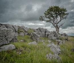 The Other Malham Tree
