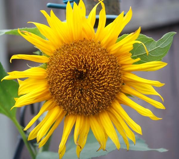 Sunflower by OverthehillPhil