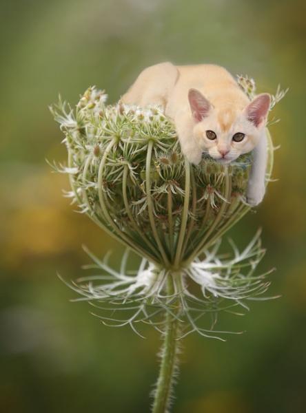 Naughty Burmese Kitten by loves2travel