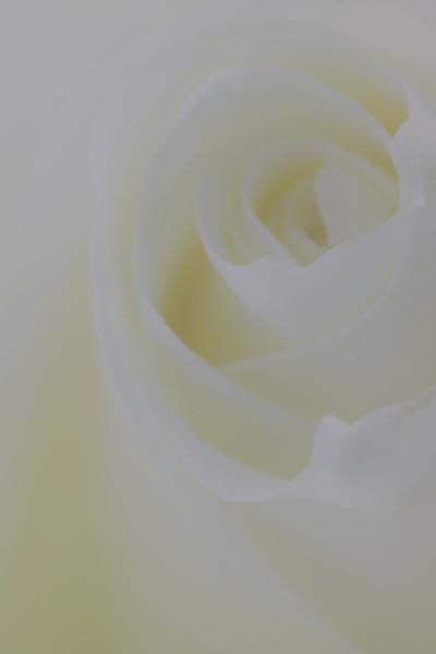Soft Rose by loves2travel
