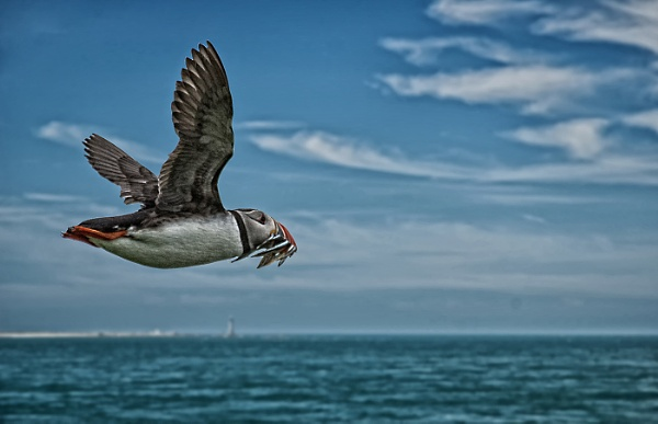 Puffin in flight by dven