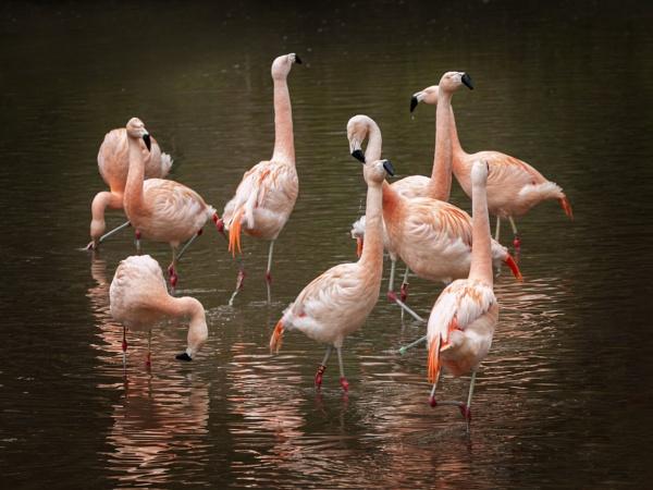 Flamingo by Knowlesie