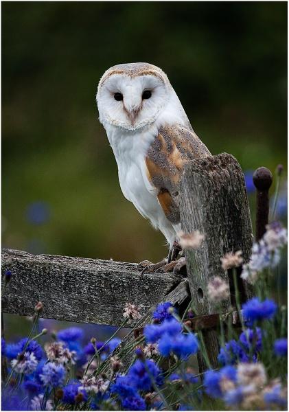 Barn Owl in Cornfield by Snaphappyannie