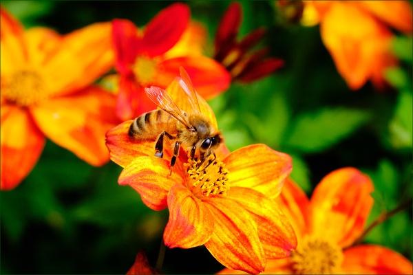 Busy Bee by photographerjoe