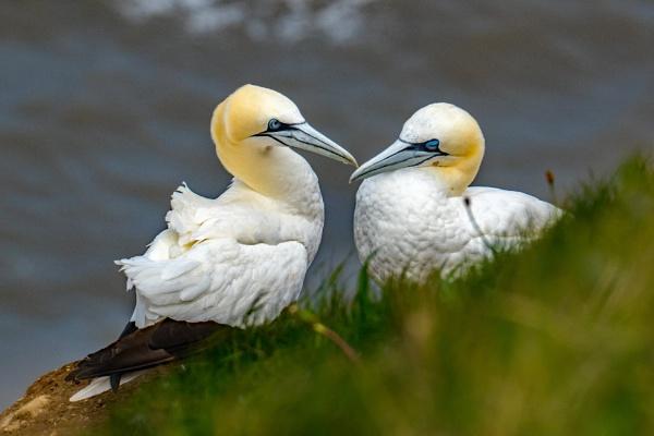 Gannets by terra