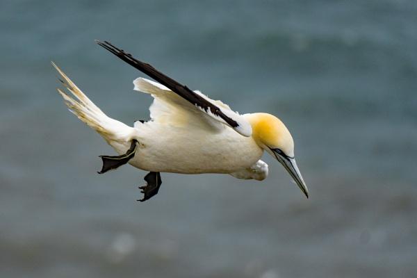 Gannet in flight. by terra