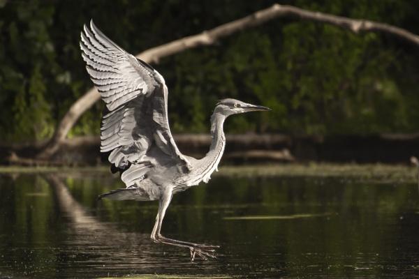 Landing Heron by chensuriashi