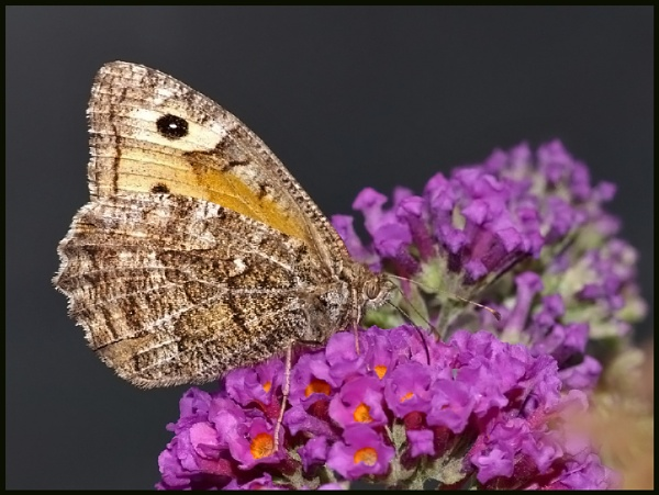 A Grayling Nectaring on Buddleia # by Badgerfred