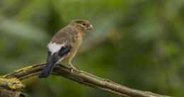 Juvenile Bullfinch