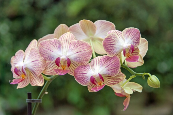 Orchid by LinH