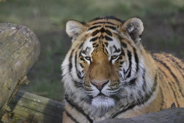 Tiger by peterthowe