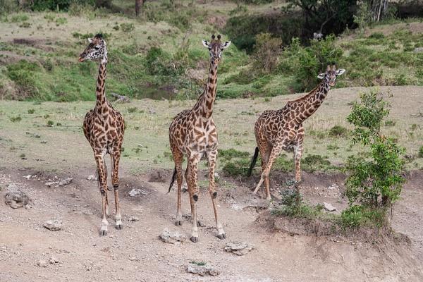 Giraffes by rontear