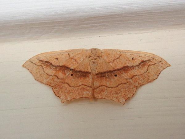 Bordered Beauty Moth by TonyDy