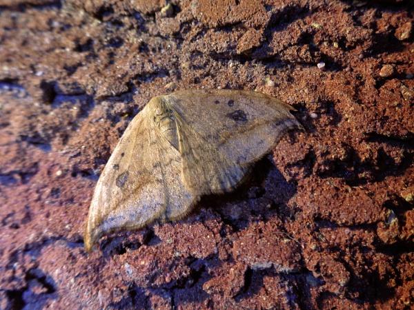Oak Hook-tip Moth by TonyDy