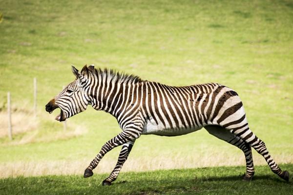 Zebra charge at Marwell Zoo by JackAllTog