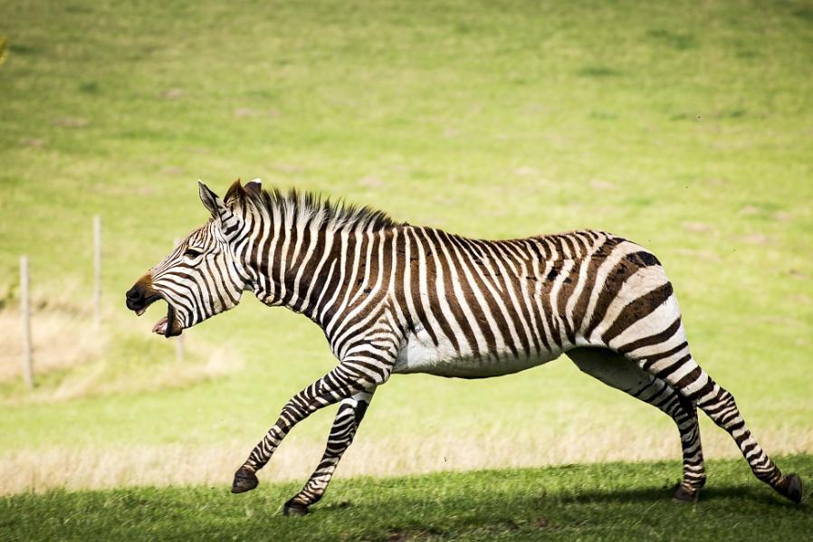 Zebra charge at Marwell Zoo