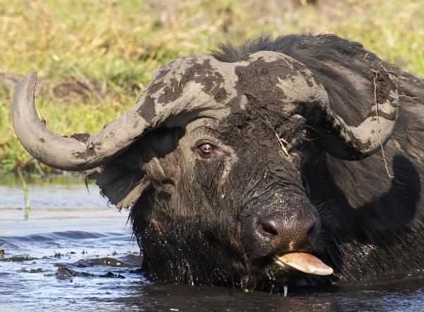 Buffalo bath by esoxlucius