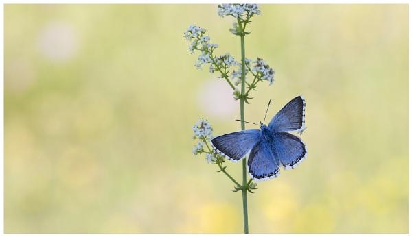 Chalk-Hill Blue - Polyommatus coridon. by NigelKiteley