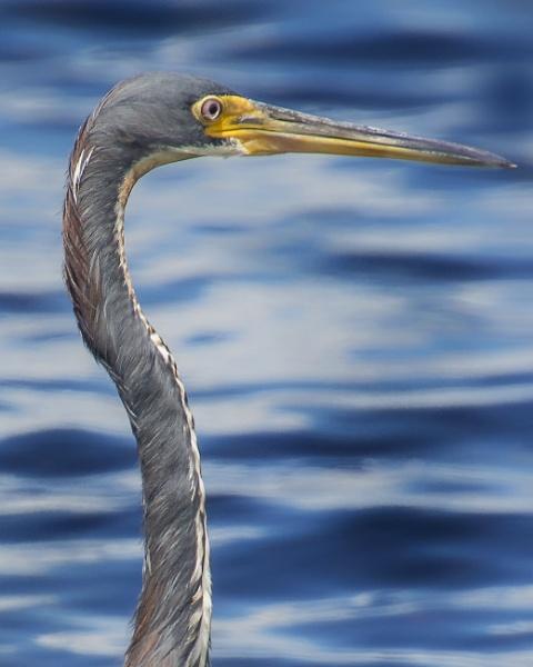 Heron Profile by jbsaladino