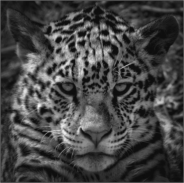 Jaguar cub (4) by PhilT2