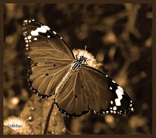 From_Kolkata # 81 Butterfly by debu