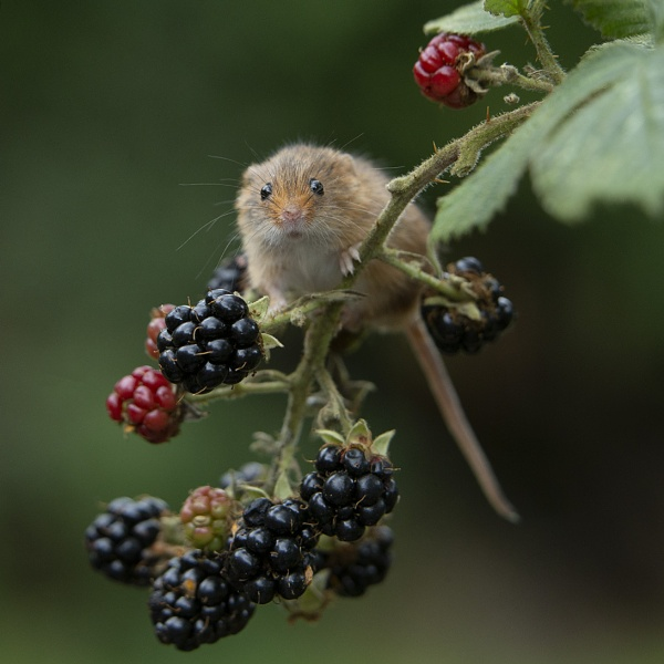 Harvest Mouse and Blackberries 3 by philhomer