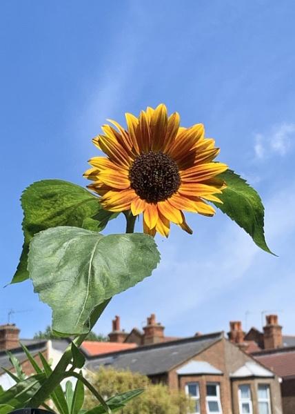Urban sunflower by pf