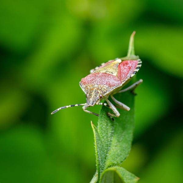 Shieid bug by chavender