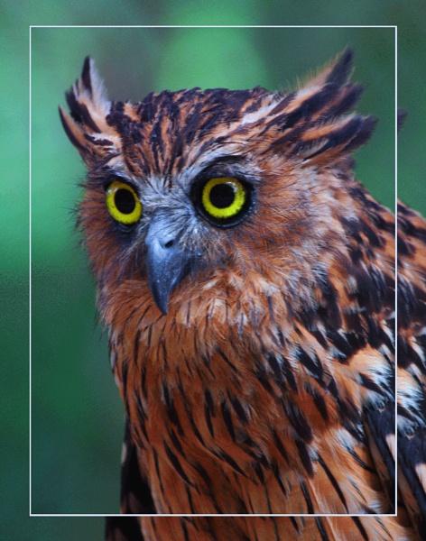 A Malay Fish Owl (Ketupa ketupu)  (best viewed large) by gconant