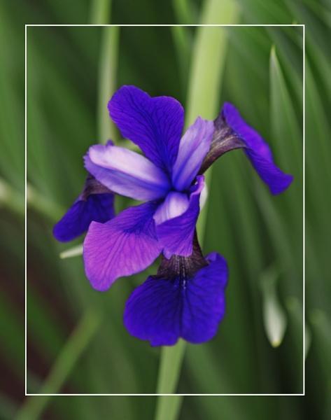 A Purple Iris  (Pallida Aureo Variegata)  (best viewed large) by gconant