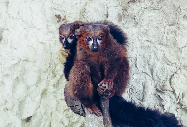 Red-bellied Lemurs by beckybookins