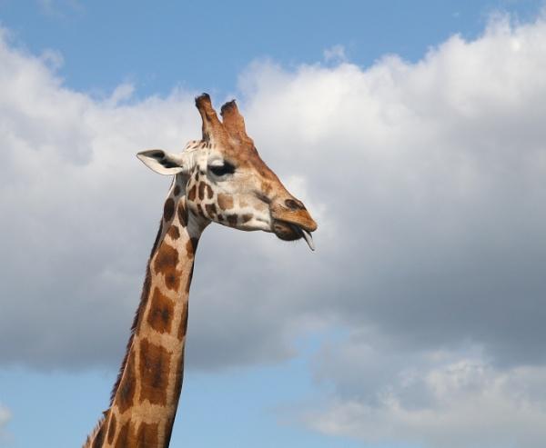 Giraffe by beckybookins
