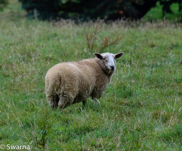 Sheep... by Swarnadip