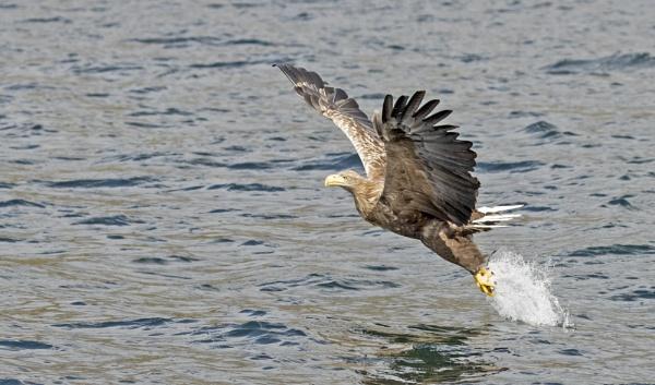 White Tailed Sea Eagle by ali63