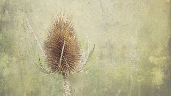 Teasel by pauljt