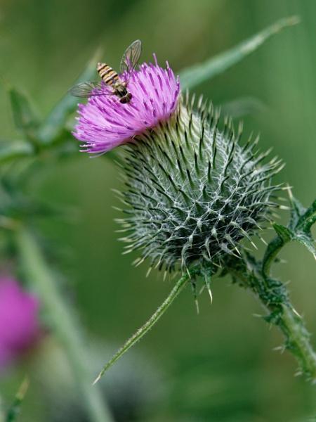 Flower of Scotland by ericjlaw