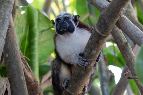 Geoffroy\'s tamarin monkey by Trekmaster01