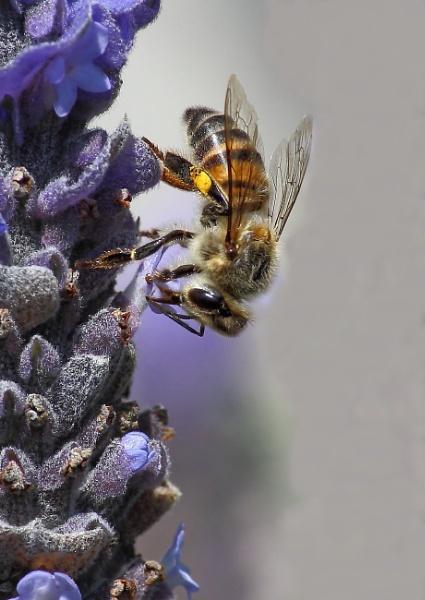 Honey Bee by johnke