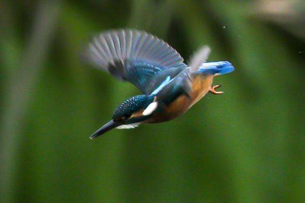 Kingfisher by Lencollard