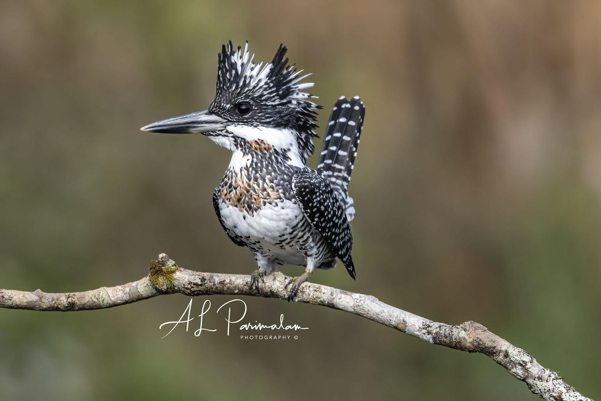 Crested Kingfisher by Pari56 | ePHOTOzine