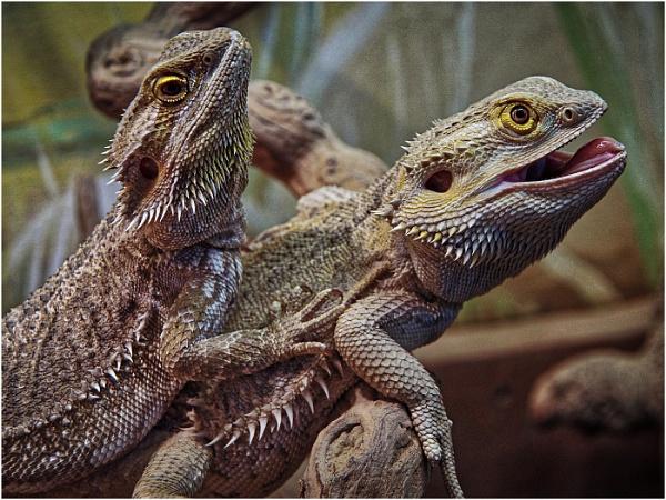 Iguanas by sueriley