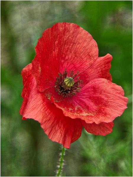 Poppy by sueriley