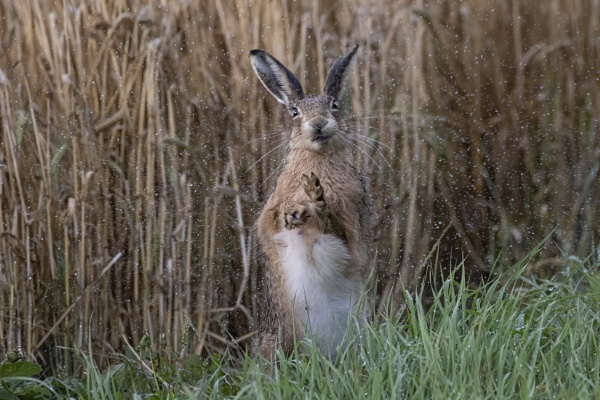 Brown Hare by Wanilson