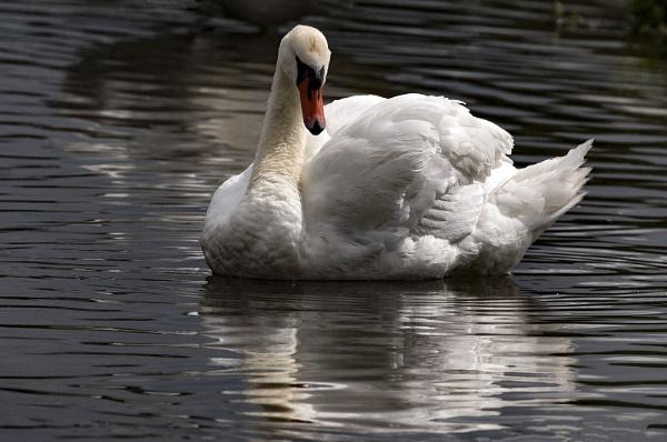 Swan by Janetdinah