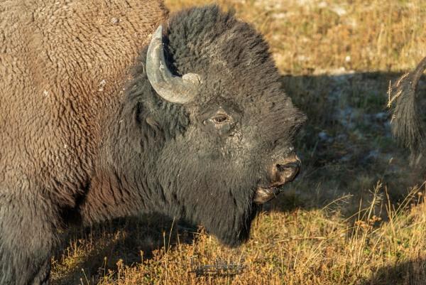 Bison by IainHamer