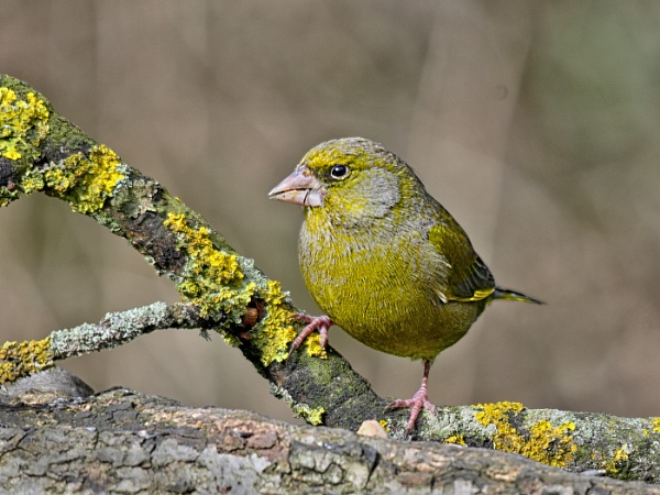 Greenfinch by dven