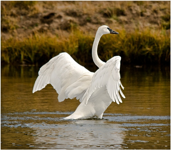 Trumpeter swan by dven