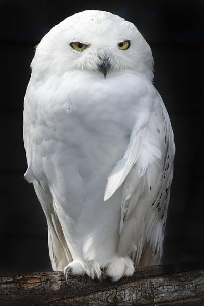 Snowy Owl by PGibbings