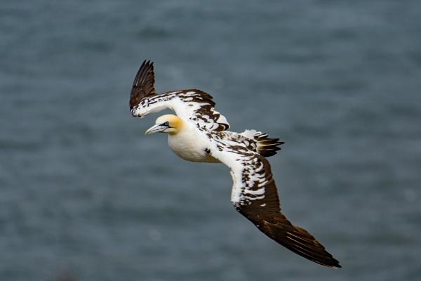Juvenile Gannet in flight by terra