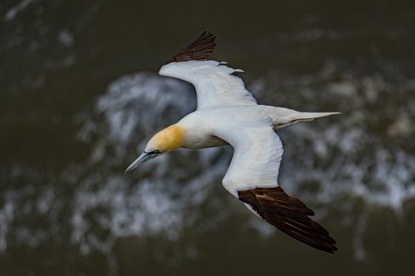Adult Gannet In Flight. by terra